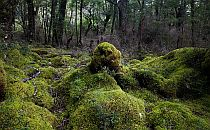 Beautiful moss formations in an ancient forest in Norway
