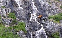 Wild bear drinking water from a beautiful waterfall
