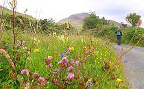 Wild flowers along a walking trail wit a hiker