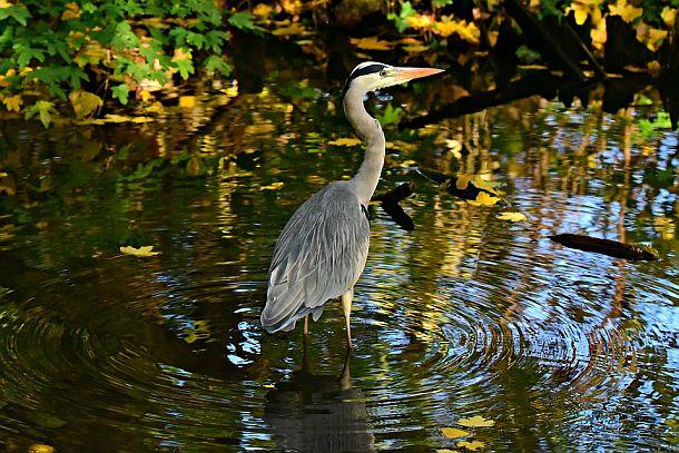 heron wading in water