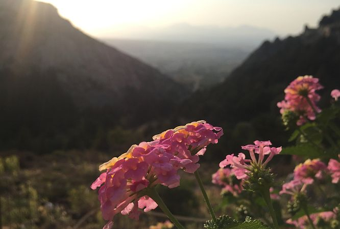Flower with hills in the background