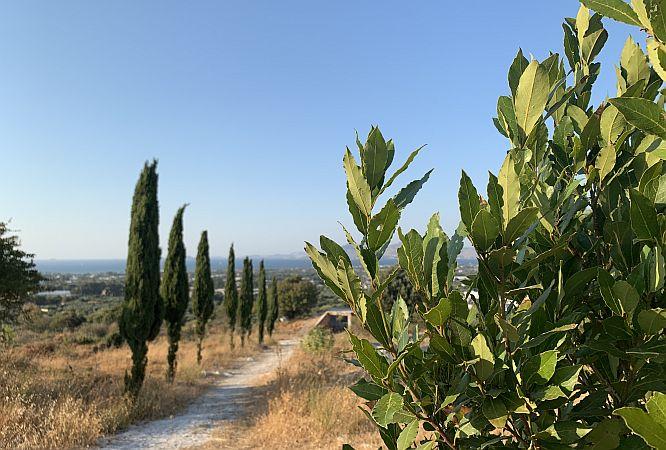Laurel tree along a walking trail