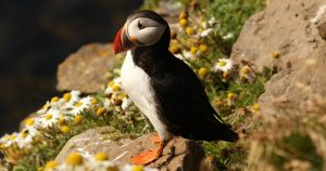 Puffin on the Pembrokeshire Coast